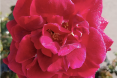"""""""First blooms of our rosebush on April 24th. I need more Blue Gold™."""""""