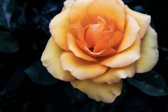 """""""The garden has pretty roses now."""""""