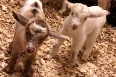 """My Myotonic (fainting goat) doe had babies unassisted and they are all doing great on the Blue Gold™ Animal System."" -Cullen"