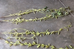 (2/2) The Eden Solutions soybeans almost look as if they are bulging out of their pods.