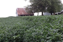 """Notice the beans on the right are twice as tall as the beans on the left. The land is flat here where the edge of the field stops at the barn in the photo. These right side beans received two applications of Blue Gold™ where the left side beans received none. The right side beans are 4'-6"""" tall all the way down to past the barn. Prior to harvest the left side beans lodged (fell over) and the right side Blue Gold™ soybeans stood tall with no issues. Photo was taken on August 9th."""