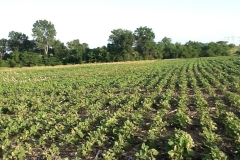 In 2014, a promising year began as Eden Solutions started a test of its amazing and revolutionary Blue Gold™ Solutions on a marginal chemical block of Missouri soil. The land went to yield unprecedented results. This is a standard soybean field *before* testing. Notice last year's corn crop fodder is laying all over the top of the soil between the soybean plants. This exhibits the chemical imbalance present in the soil, creating a marginal soil. In this aspect, the soil biology is low, dead, non-active or all the above. All notice the un-decayed corn stalks in the middle left of the field. Planted on May 15th, these Pioneer Y-22 beans are a short variety only designed to grow 2 to 3 feet tall according to Pioneer Seed. This photo was taken on June 22nd just before the first Eden Solutions were applied. Notice the yellowing and bunt leaves from a herbicide treatment only four days prior.