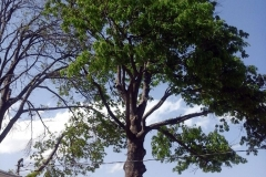 (4/4) You can see its dead brother to the left; this Oak Tree was just as dead looking. After applications of Blue Gold™ on the bottom six feet of trunk, this oak tree quickly came back to life.