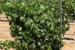 (9/11) Often, 'greening' is mistaken as a Potassium deficiency. Usually correct, but Potassium cannot be absorbed if there is a Calcium deficiency as well. And sadly it is one nutrient most usually not accounted for. Contact Eden today for a unique Calcium enhanced Blue Gold™ that will quickly remediate those yellow leaves as we did on this vineyard. This is a vine that was suffering extreme yellowing. After a few applications of Blue Gold™ and Blue Gold™ C4-Calcium, this vine was back on track for a dark vibrant green health.