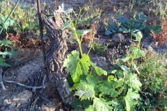 (1/4) These Pierce Disease ridden vines were revived on the Blue Gold™ program that was treated with the Fall fertigation protocols.
