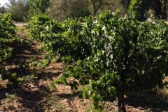 (3/4) Here is a dark green vineyard disease and greening free thanks to the Blue Gold™ and Blue Gold™ C4-Calcium.