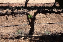 All these dead vines were slated to be removed due to the incurable Pierce Disease. All of these vines went on to produce grapes the following year after Blue Gold™ treatments.