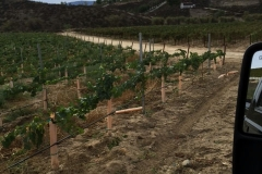 New vines on Blue Gold™. These new vines produced fruit their first year.
