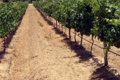 (10/11) This Blue Gold™ vineyard is vigorous, and its vitality is through the roof.