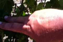 "The treated vines experienced zero pest pressure from ""leafhoppers"". Peter said this was the first time in 3 years he has been pest free."