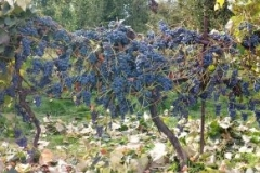 Amazing fruit set on this Concord Grape Vine in Washington St., treated with Blue Gold™.