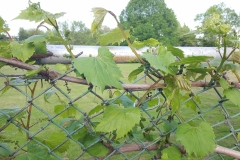 "(1/3) ""This vine had overspray from Round Up last year that nuked it. I pruned it way back and have been coating/spraying the cordon and canes weekly all spring with Blue Gold™ Garden and the Blue Gold™ Fusion Compost."
