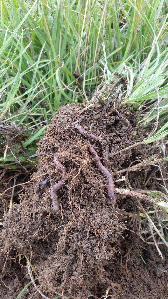 Blue Gold Cattle And Earthworm Testimony From Bar 10